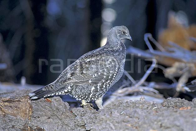 ec0668-06LE : Pintade, Yosemite NP, California.  Amérique du nord, oiseau, parc américain, C02, C01 faune, voyage aventure, gros plan (Usa).