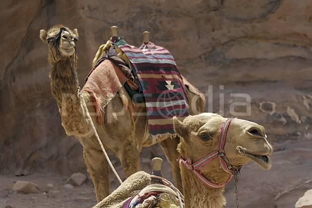 ec071004LE : Dromadaires sur le site de Petra.  Moyen Orient, C02 désert, faune, voyage aventure (Jordanie).