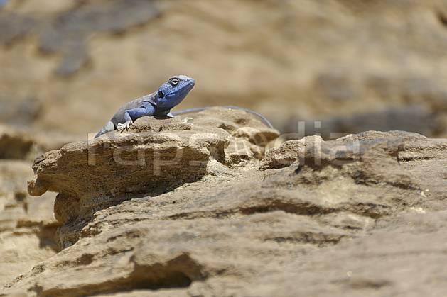 ec071176LE : Lézard bleu, Petra.  Moyen Orient, C02 désert, faune, gros plan, voyage aventure (Jordanie).