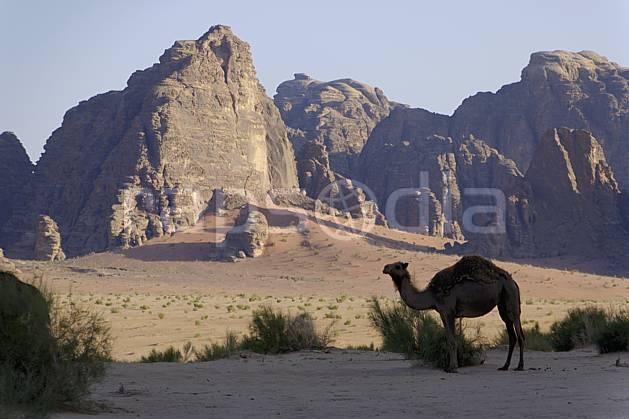 ec071332LE : Dromadaire, Désert du Wadi Rum.  Moyen Orient, C02 désert, faune, moyenne montagne, paysage, voyage aventure (Jordanie).