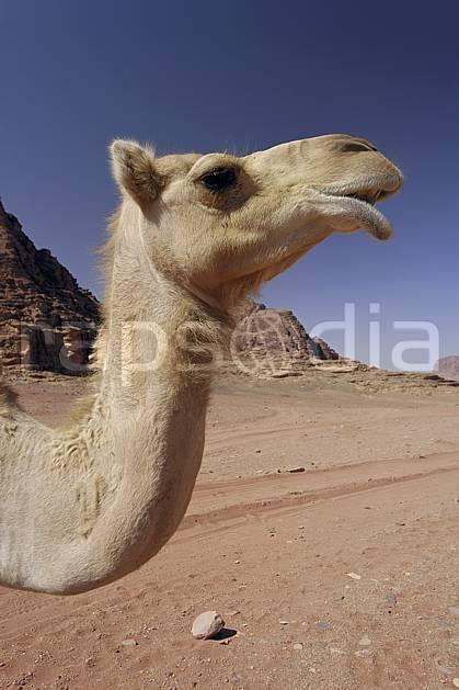 ec071368LE : Dromadaire, Désert du Wadi Rum.  Moyen Orient, C02 désert, faune, gros plan, portrait, voyage aventure (Jordanie).