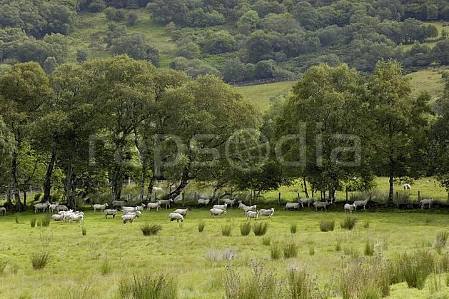 ec072071LE : Troupeau de moutons, Glenade, Donegal.  Europe, CEE, mouton, C02 arbre, faune, forêt, paysage, voyage aventure (Irlande).