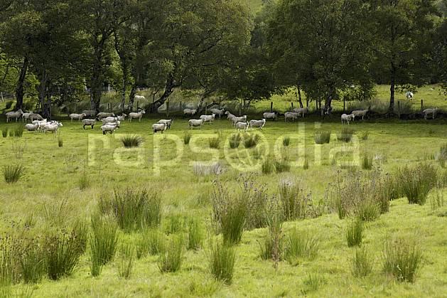 ec072074LE : Troupeau de moutons, Glenade, Donegal.  Europe, CEE, mouton, C02 arbre, faune, forêt, paysage, voyage aventure (Irlande).