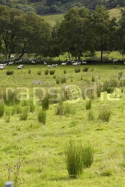 ec072075LE : Troupeau de moutons, Glenade, Donegal.  Europe, CEE, mouton, C02 arbre, faune, forêt, paysage, voyage aventure (Irlande).