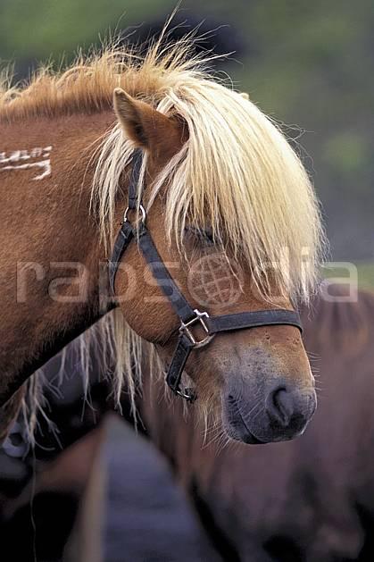 ec1028-13LE : Poney Islandais.  ONU, OTAN, cheval, C02, C01 faune, voyage aventure, gros plan (Islande).