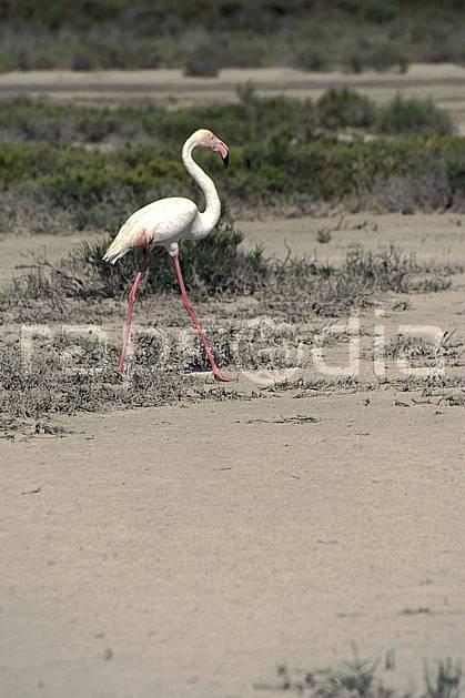 ec1192-24LE : Flamand rose, Camargue.  Europe, CEE, oiseau, C02, C01 faune, voyage aventure (France).