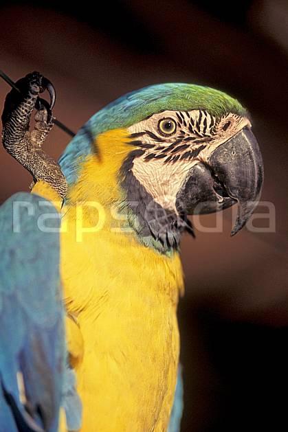 ec1215-14LE : Perroquet, Coroïco.  Amérique du sud, Amérique Latine, Amérique, oiseau, C02, C01 faune, voyage aventure, gros plan (Bolivie).