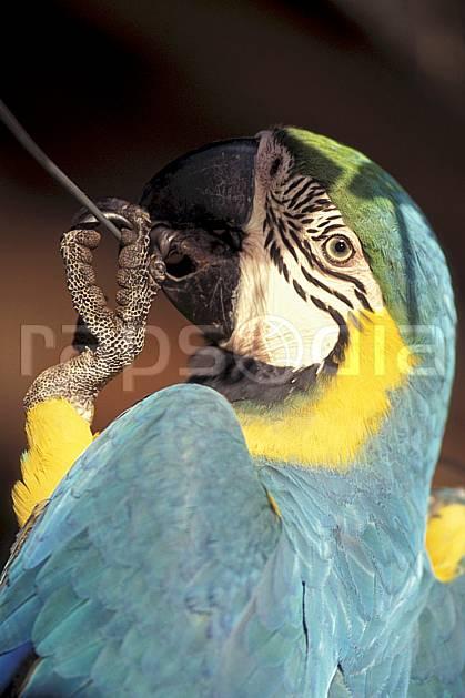 ec1215-15LE : Perroquet, Coroïco.  Amérique du sud, Amérique Latine, Amérique, oiseau, C02, C01 faune, voyage aventure, gros plan (Bolivie).