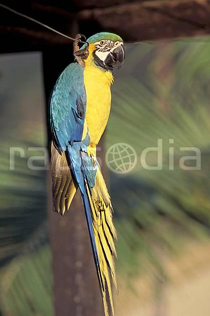 ec1215-20LE : Perroquet, Coroïco.  Amérique du sud, Amérique Latine, Amérique, oiseau, C02, C01 faune, voyage aventure, gros plan (Bolivie).