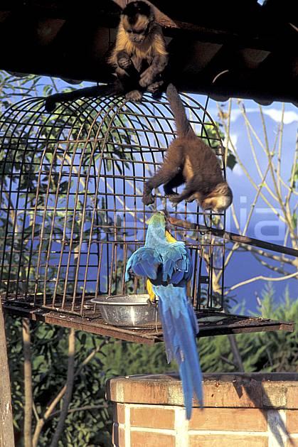 ec1215-28LE : Singes et péroquet, Coroïco.  Amérique du sud, Amérique Latine, Amérique, cage, oiseau, singe, C02, C01 environnement, faune, groupe, voyage aventure (Bolivie).