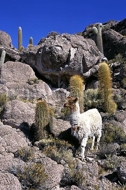ec1218-18LE : Alpaga.  Amérique du sud, Amérique Latine, Amérique, ciel bleu, C02, C01 faune, voyage aventure (Bolivie).