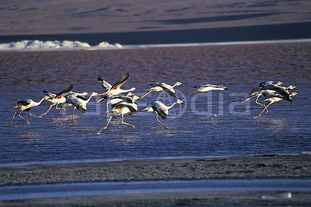 ec1223-33LE : Flamants rose, Sud Lipez.  Amérique du sud, Amérique Latine, Amérique, oiseau, voler, C02, C01 faune, groupe, lac, voyage aventure (Bolivie).
