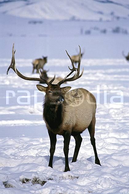 ec1989-25LE : Elks Refuge, Wyoming.  Amérique du nord, C02, C01 faune, voyage aventure, gros plan (Usa).