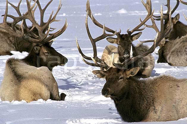 ec1990-07LE : Elks Refuge, Wyoming.  Amérique du nord, C02, C01 faune, groupe, voyage aventure, gros plan (Usa).