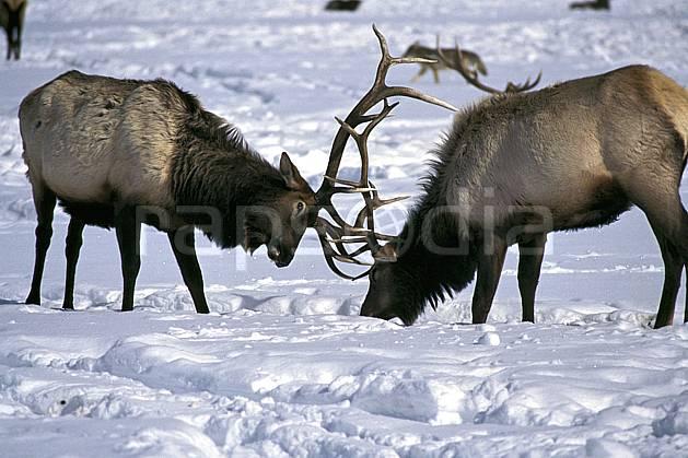 ec1990-14LE : Elks Refuge, Wyoming.  Amérique du nord, C02, C01 faune, groupe, voyage aventure (Usa).