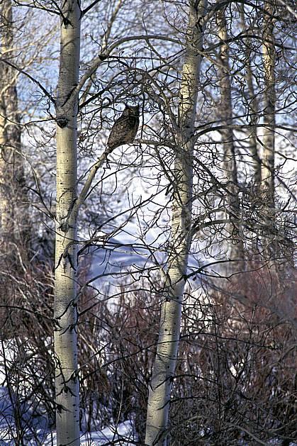 ec1991-20LE : Hibou, Wyoming.  Amérique du nord, oiseau, C02, C01 arbre, faune, voyage aventure (Usa).