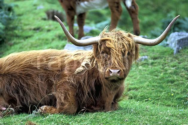 ec2062-11LE : Scottish cow, Ecosse.  Europe, CEE, herbe, vache, écosse, C02, C01 faune, gros plan, voyage aventure (Royaume-Uni).