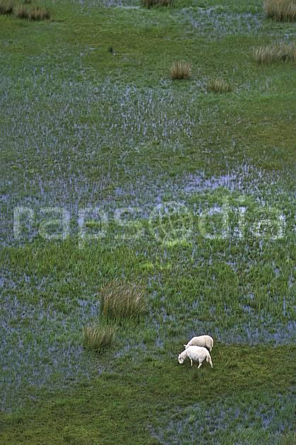 ec2067-23LE : Scottish sheep, Ecosse.  Europe, CEE, mangrove, étang, écosse, C02, C01 faune, voyage aventure (Royaume-Uni).