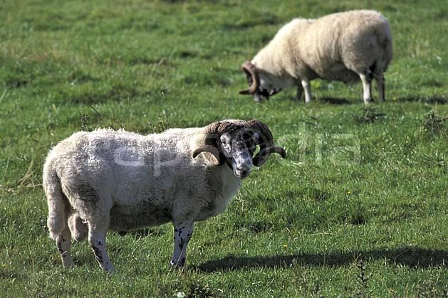 ec2069-17LE : Scottish sheep, Ecosse.  Europe, CEE, herbe, écosse, C02, C01 faune, groupe, voyage aventure (Royaume-Uni).