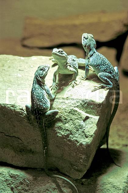 ec2069-33LE : Lézards, Ecosse.  Europe, CEE, lézard, écosse, C02, C01 faune, gros plan, groupe, voyage aventure (Royaume-Uni).