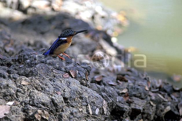 ec2277-25LE : Martin pécheur.  Afrique, Afrique de l'est, oiseau, C02, C01 faune, voyage aventure, gros plan (Madagascar).