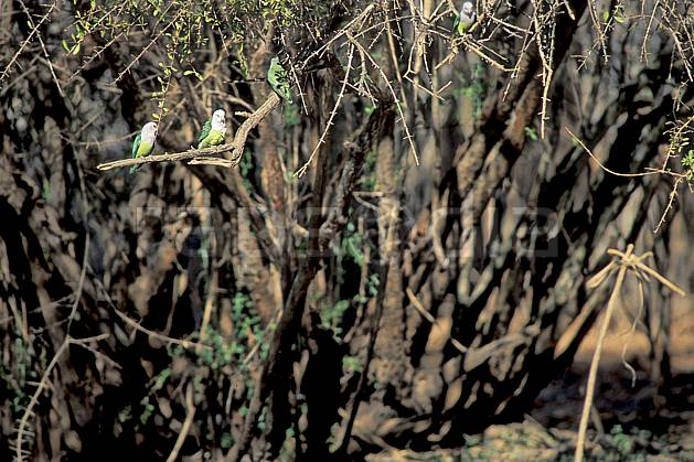 ec2278-02LE : Perruches vertes.  Afrique, Afrique de l'est, oiseau, C02, C01 arbre, faune, voyage aventure (Madagascar).