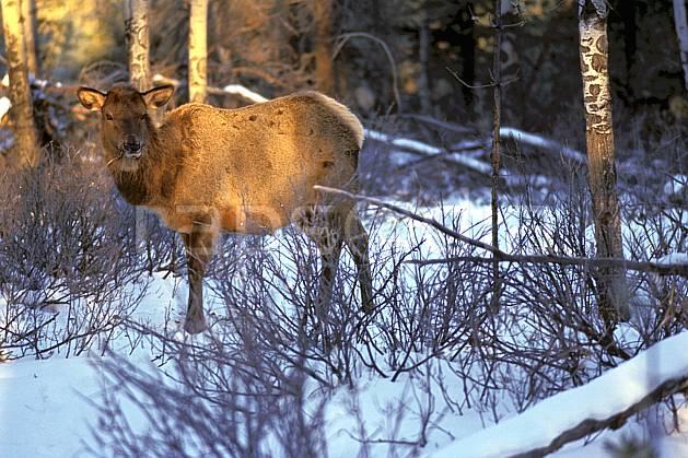 ec2383-10LE : Wapeetee.  Amérique du nord, Amérique, C02, C01 faune, voyage aventure (Canada).