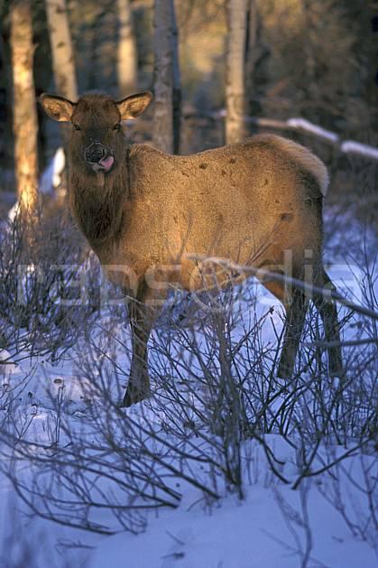 ec2383-16LE : Wapeetee.  Amérique du nord, Amérique, C02, C01 faune, voyage aventure, gros plan (Canada).