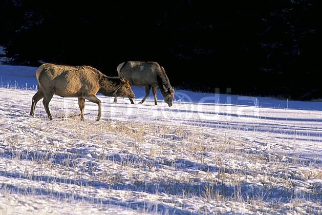 ec2386-18LE : Wapeetees.  Amérique du nord, Amérique, herbe, C02, C01 faune, groupe, voyage aventure (Canada).