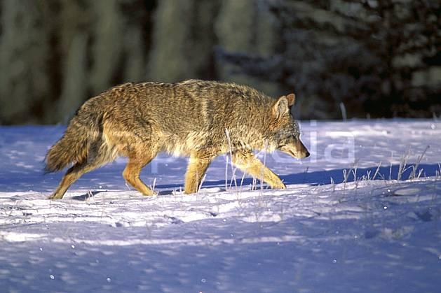 ec2386-28LE : Coyote.  Amérique du nord, Amérique, coyote, C02, C01 faune, voyage aventure (Canada).