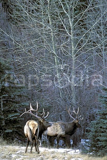 ec2387-31LE : Wapeetees.  Amérique du nord, Amérique, C02, C01 arbre, faune, groupe, voyage aventure (Canada).