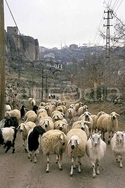 ec2646-22LE : Cappadoce.  Europe, ciel voilé, mouton, C02, C01 environnement, faune, groupe, voyage aventure (Turquie).