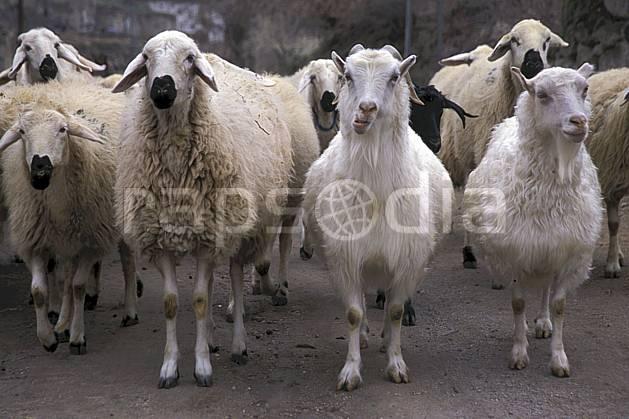 ec2646-23LE : Cappadoce.  Europe, mouton, C02, C01 faune, groupe, voyage aventure, gros plan (Turquie).