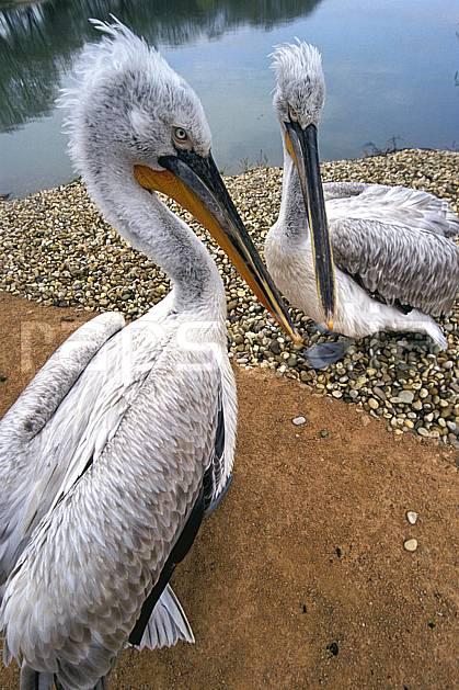 ec2690-02LE : Pélicans.  Europe, CEE, oiseau, C02, C01 faune, groupe, voyage aventure, gros plan (France).