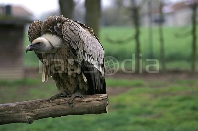 ec2690-06LE : Vautour.  Europe, CEE, oiseau, C02, C01 faune, voyage aventure, gros plan (France).