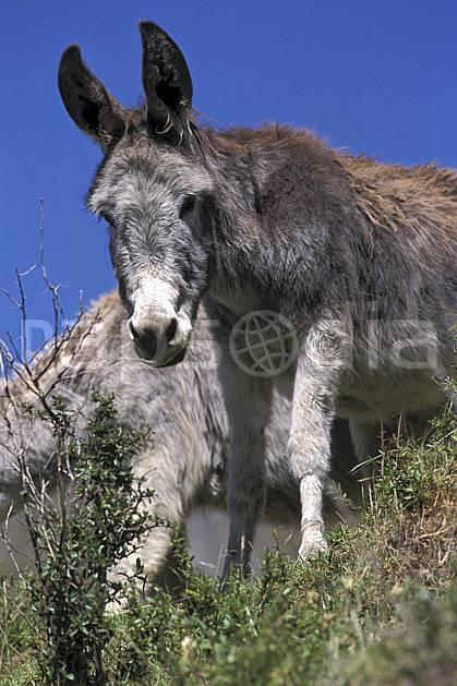 ec2711-09LE : Ane péruvien.  Amérique du sud, Amérique Latine, ciel bleu, âne, C02, C01 faune, voyage aventure (Pérou).