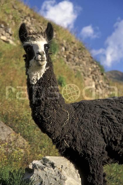 ec2712-32LE : Lama, Chavin.  Amérique du sud, Amérique Latine, ciel nuageux, C02, C01 faune, voyage aventure (Pérou).