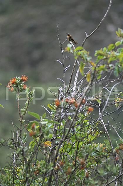 ec2733-12LE : Colibri, Quebrada Santa Cruz.  Amérique du sud, Amérique Latine, fleur, fleur orange, oiseau, C02, C01 faune, flore, voyage aventure (Pérou).