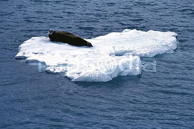 ec2765-15LE : Phoque à moustaches à Magdalenefjorden (N), Svalbard, Ile du Spitzberg.  Europe, CEE, iceberg, phoque, C02, C01 faune, voyage aventure, mer (Norvège).