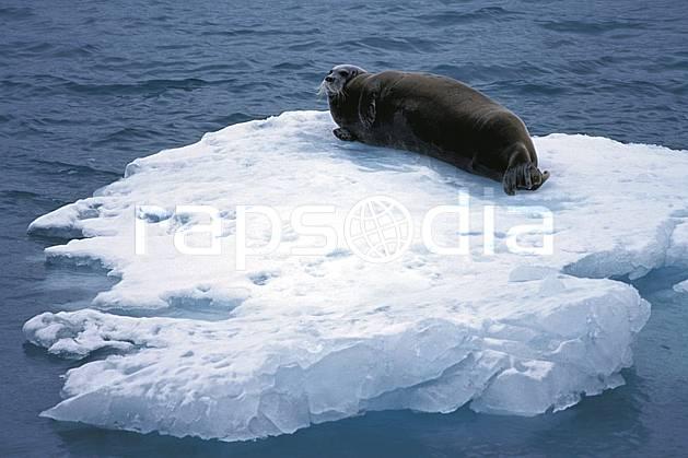 ec2765-17LE : Phoque à moustaches à Magdalenefjorden (N), Svalbard, Ile du Spitzberg.  Europe, CEE, iceberg, phoque, C02, C01 faune, voyage aventure, mer (Norvège).