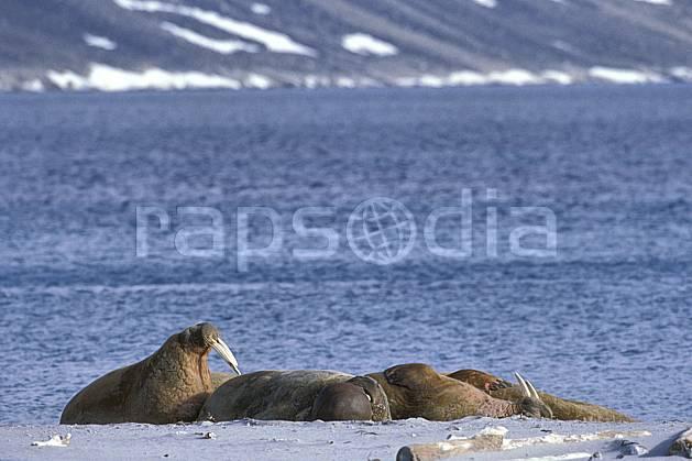 ec2768-23LE : Morses, Svalbard, Ile de PhippsØya (N).  Europe, CEE, morse, C02, C01 faune, groupe, voyage aventure, mer (Norvège).