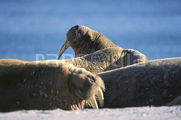ec2769-15LE : Morses, Svalbard, Ile de PhippsØya (N).  Europe, CEE, morse, C02, C01 faune, voyage aventure, gros plan (Norvège).