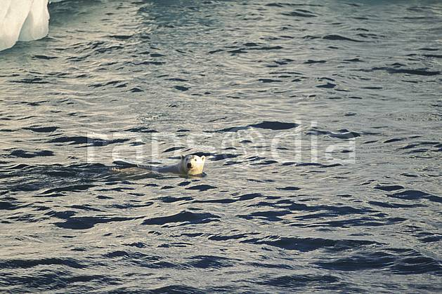ec2772-10LE : Ours polaire, Svalbard, Ile de Nordaustlandet côte sud.  Europe, CEE, natation, ours, C02, C01 faune, voyage aventure, mer (Norvège).