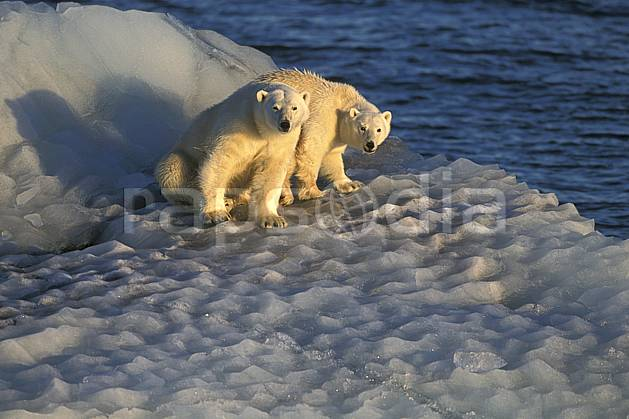 ec2776-10LE : Ours polaires, Svalbard, Ile de Nordaustlandet côte sud.  Europe, CEE, iceberg, ours, C02, C01 faune, voyage aventure, mer (Norvège).