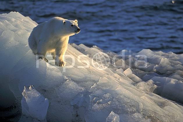 ec2776-34LE : Ours polaire, Svalbard, Ile de Nordaustlandet côte sud.  Europe, CEE, iceberg, ours, C02, C01 faune, voyage aventure, mer (Norvège).
