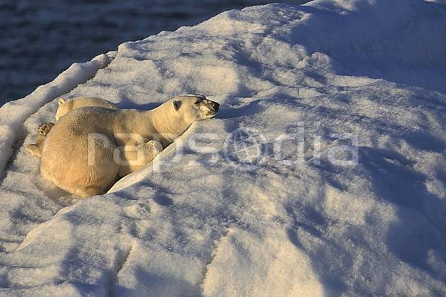 ec2777-10LE : Ours polaire femelle et son petit, Svalbard, Ile de Nordaustlandet côte sud.  Europe, CEE, iceberg, ours, C02, C01 faune, voyage aventure, gros plan (Norvège).