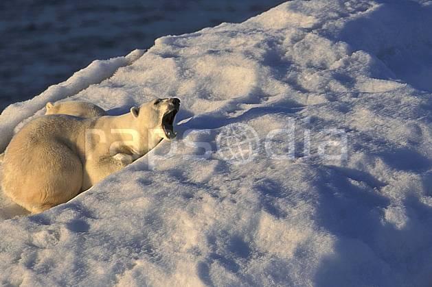 ec2777-20LE : Ours polaire femelle et son petit, Svalbard, Ile de Nordaustlandet côte sud.  Europe, CEE, iceberg, ours, C02, C01 faune, voyage aventure, gros plan (Norvège).