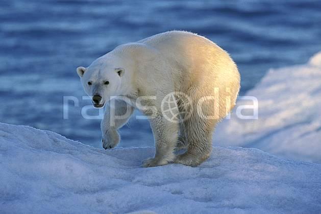 ec2777-34LE : Ours polaire, Svalbard, Ile de Nordaustlandet côte sud.  Europe, CEE, iceberg, ours, C02, C01 faune, voyage aventure, mer, gros plan (Norvège).