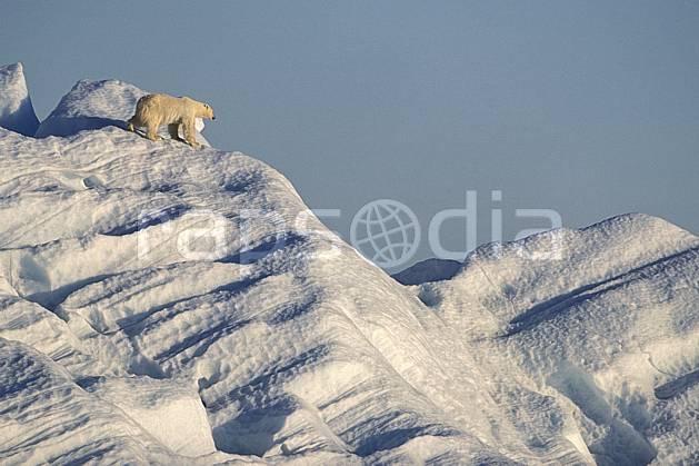 ec2778-21LE : Ours polaire, Svalbard, Ile de Nordaustlandet côte sud.  Europe, CEE, ciel voilé, iceberg, ours, C02, C01 faune, voyage aventure (Norvège).