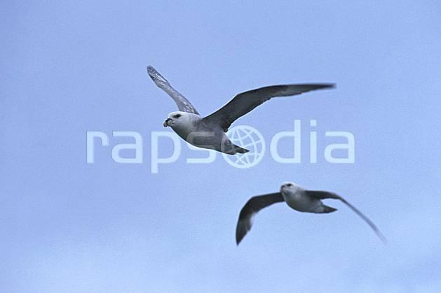 ec2783-24LE : Fulmar, Svalbard, Ile du Spitzberg.  Europe, CEE, ciel voilé, oiseau, voler, C02, C01 faune, groupe, voyage aventure (Norvège).